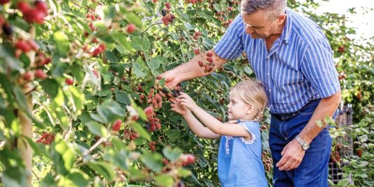 A family picking blackberries from a bush